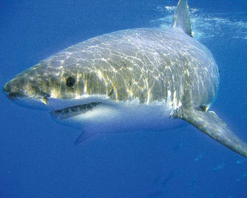great white shark endangered