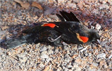 black birds with blue heads