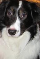 Buddy The Aussie Dog