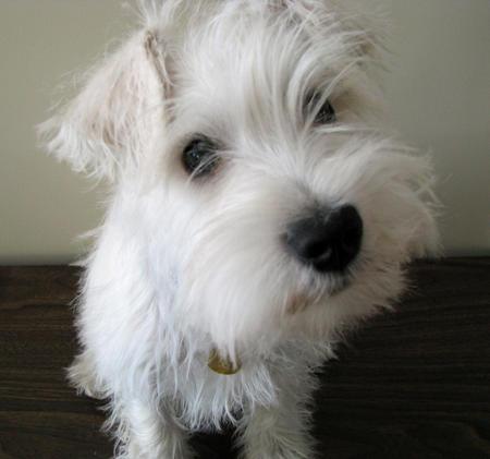 White Miniature Schnauzer Diamond Kennel: pure w...