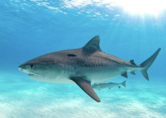 shark attack pictures on humans. known to attack humans,