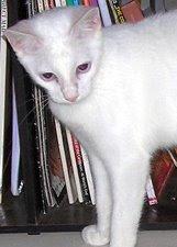 Kitty Cats House Kucing Munchkin Di Indonesia