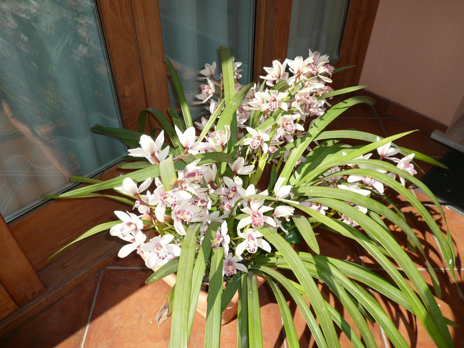 Giardini in gallura orchidea cymbidium in vaso all 39 aperto - Orchidea da esterno cymbidium ...