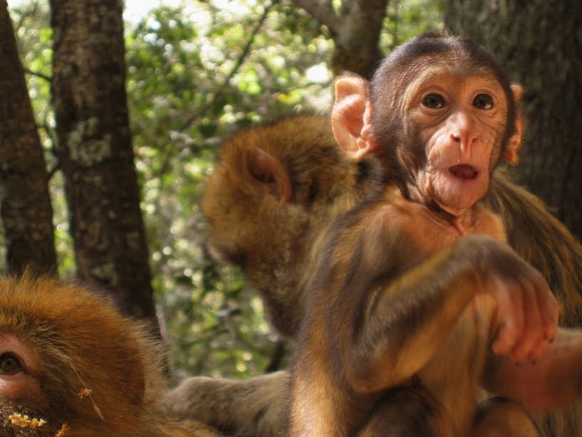 Pictures of Monkeys Making Funny Faces a Baby Monkey Making Funny