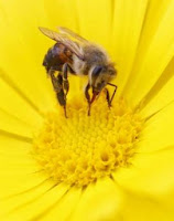 close up of a bee on a yellow daisy