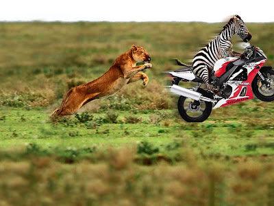 lion chasing zebra who is escaping on a motercycle