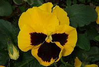 close up of a yellow pansy