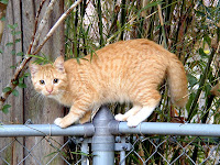 orange tabby cat standing on chain link fence