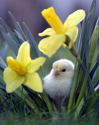 close up of two dafodills and a downy baby chick