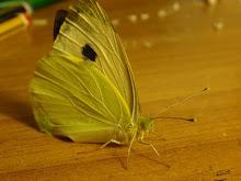 La farfalla verde