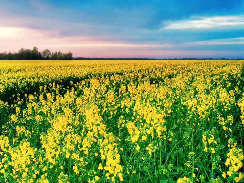 flor de jardim amarela:Papel Parede Flor Amarela Flores Amarelas