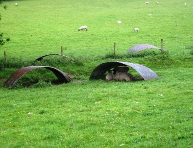Sheep sheltering