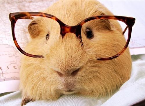 One Sophisticated Guniea Pig