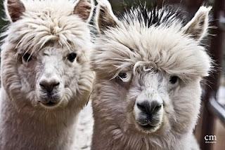 alpacas 1 - chris martin photography