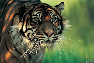 Harimau Sumatera | Panthera tigris sumatrae