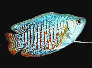 Fresh Water Aquarium Fish Freshwater Tropical Fish Guide