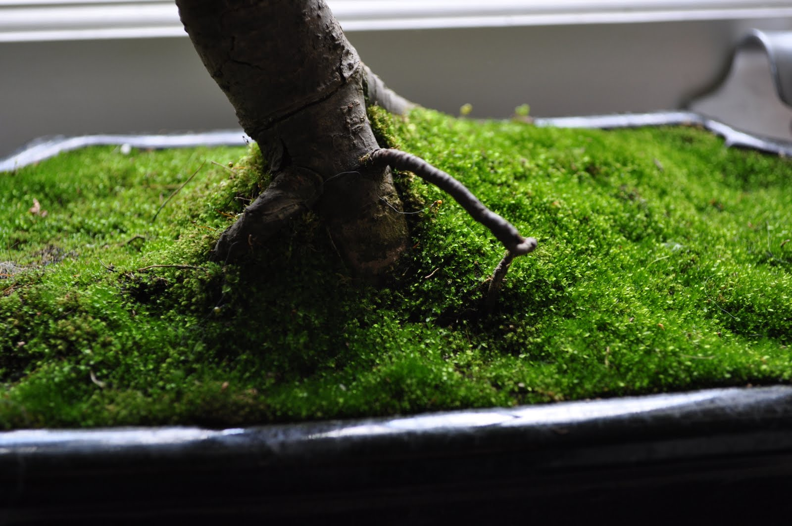 Bonsai Gakusei Moss Gotta Love The Moss