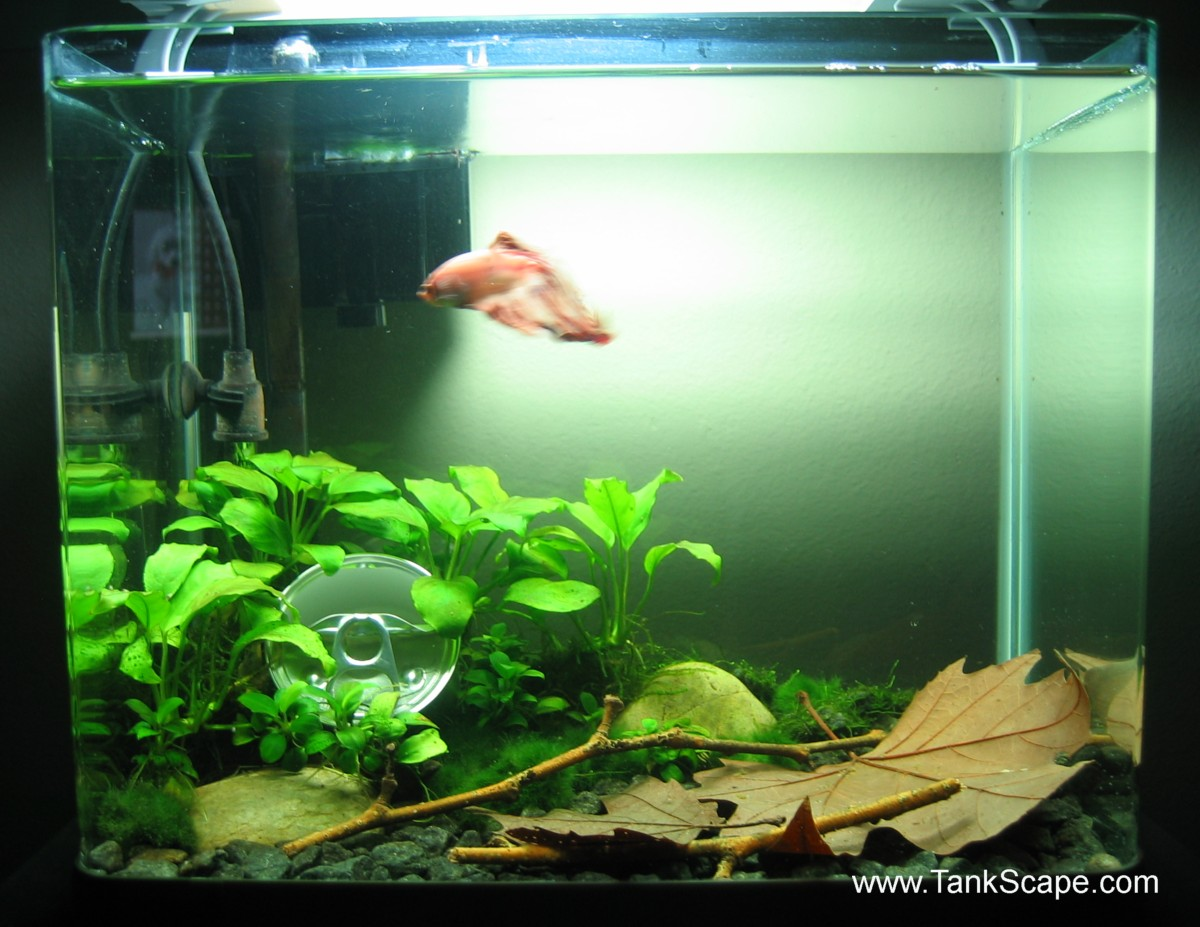 Betta fish unfiltered tank beginners guide to setting up for Beginner fish tank
