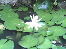 Gambar Bunga Teratai putih