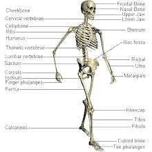 Gambar skeleton