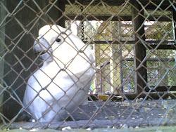 Burung kakak_tua