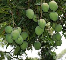 Unripe mangoes on tree