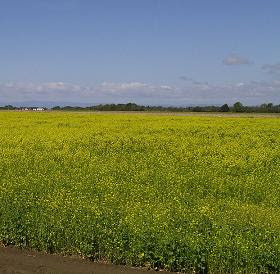 A field of black mustard