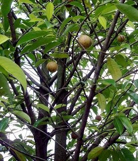 Nutmeg tree