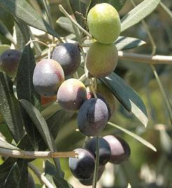 olives ripening on tree