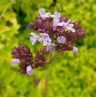 Oregano flower