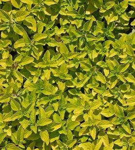 Golden oregano plants