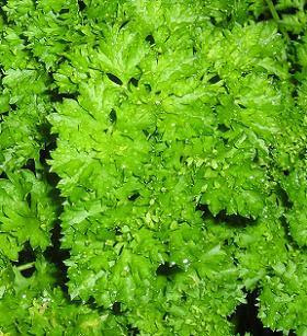 Curly leaf parsley plants
