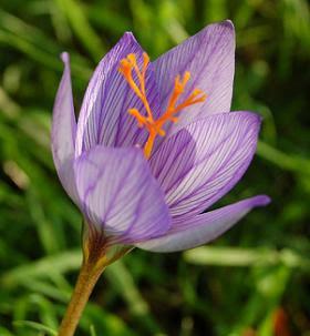 saffron+flower.JPG