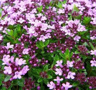 wild thyme plants