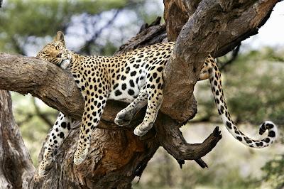 http://3.bp.blogspot.com/_JZn7JzDJraM/S_91zCgtf7I/AAAAAAAAA64/LpxOZDLjFts/s1600/SLEEPING+LEOPARD.jpg