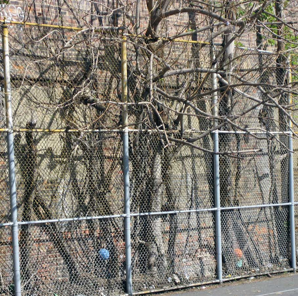 Trapped Trees - The trees were at the back of the Asher Levy school yard off First Ave. & 11th St. until a luxury condo was built there.