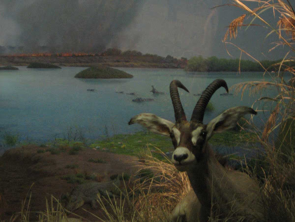 Natural History Antelope - An antelope ruminates in a diorama at the American Museum of Natural History.
