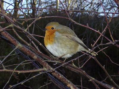 a beady eyed robin