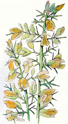 gorse or whin bushes by ruthie