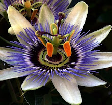 Beauty - passionflower