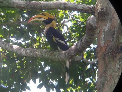 Khao Yai National Park Thailand hornbill