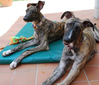 Greyhound Puppy Blog Typical Morning