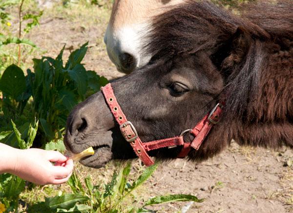 horse eating apple