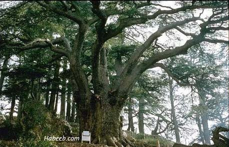 how to look after cedar trees