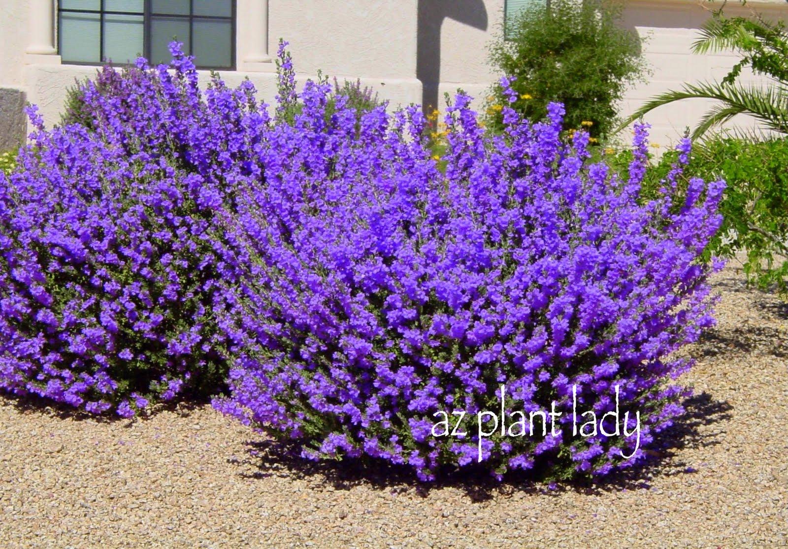 Fuzzy flowers and sunscreen ramblings from a desert garden - Blooming shrubs ...
