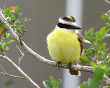 great kiskadee: a favorite backyard resident