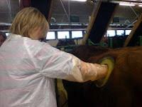 Timpanismo experimentos con vacas foto
