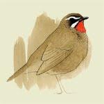 RARE BIRD ALERT BELGIUM