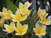 Kuning Cendana