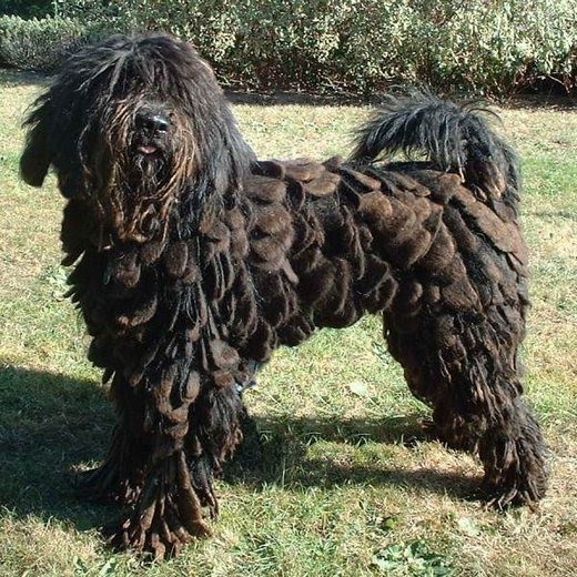 Dog Breeds With Hair Not Fur Dog Breeds